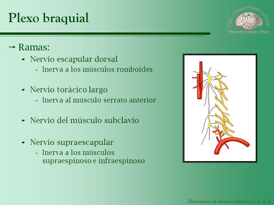Plexo braquial Ramas: Nervio escapular dorsal Nervio torácico largo