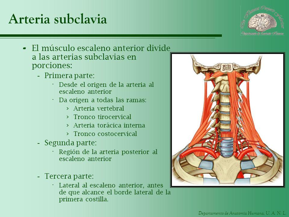 Arteria subclavia El músculo escaleno anterior divide a las arterias subclavias en porciones: Primera parte: