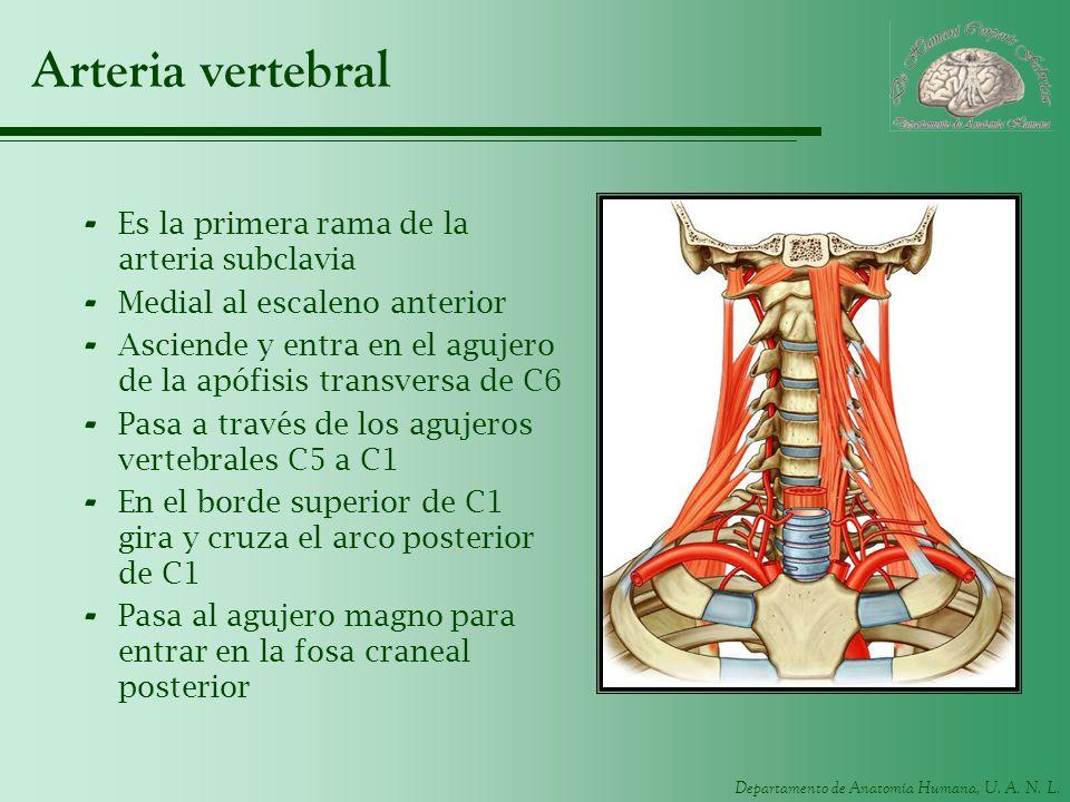 Arteria vertebral Es la primera rama de la arteria subclavia