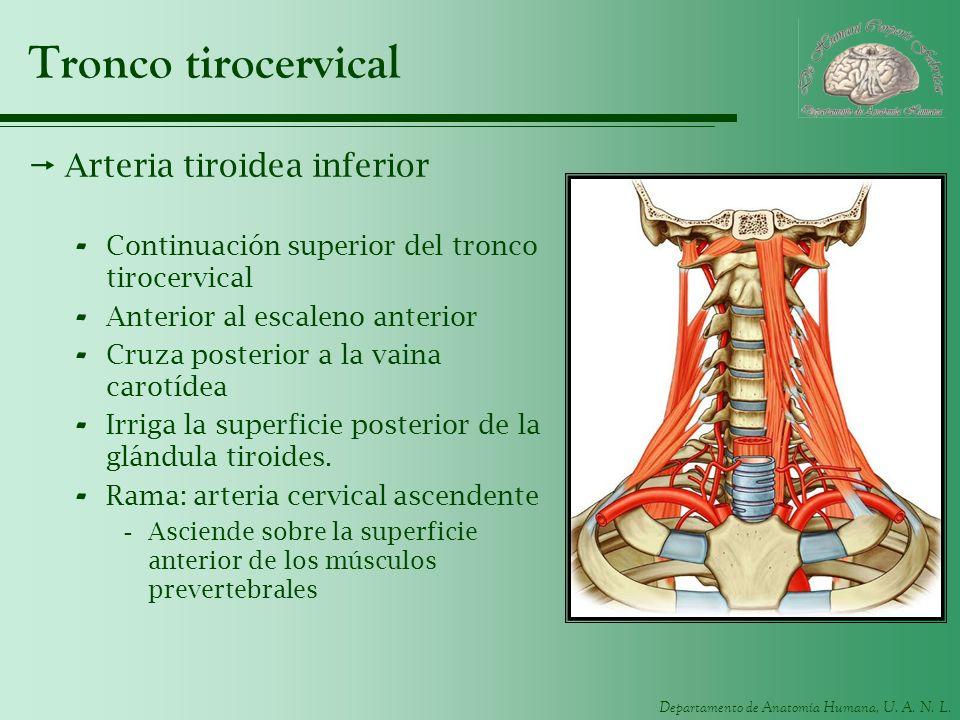 Tronco tirocervical Arteria tiroidea inferior