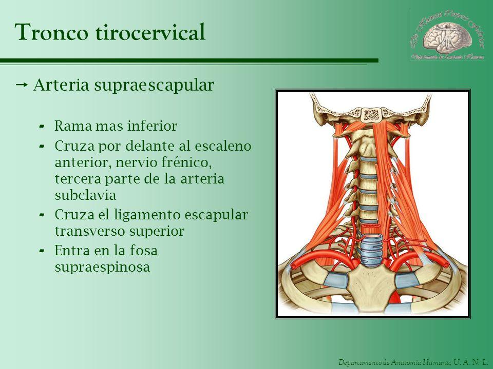 Tronco tirocervical Arteria supraescapular Rama mas inferior