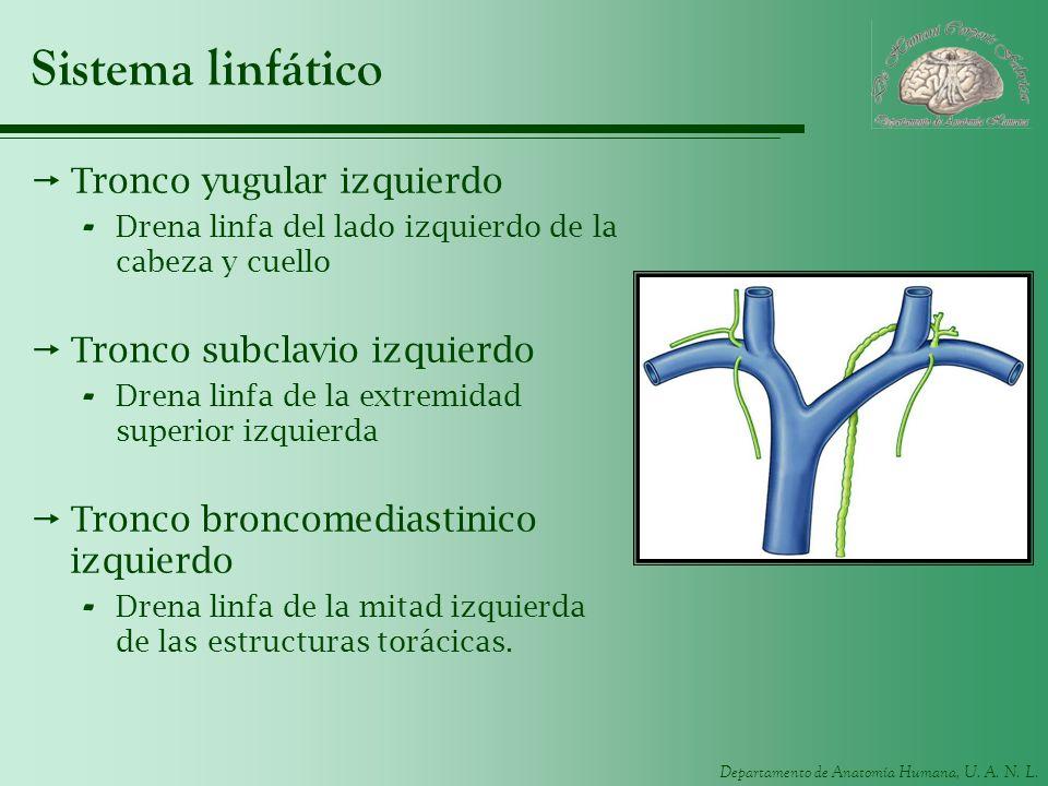 Sistema linfático Tronco yugular izquierdo Tronco subclavio izquierdo