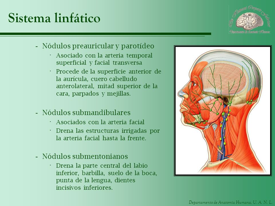 Sistema linfático Nódulos preauricular y parotídeo