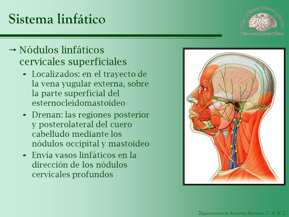 Sistema linfático Nódulos linfáticos cervicales superficiales