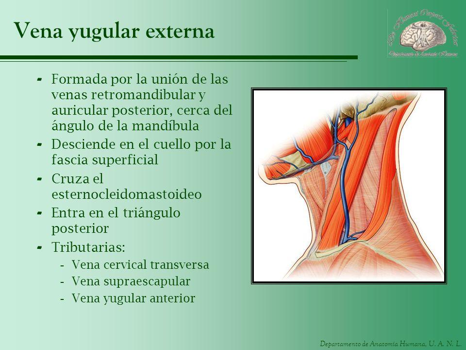 Perfecto Anatomía Vena Yugular Externa Motivo - Imágenes de Anatomía ...