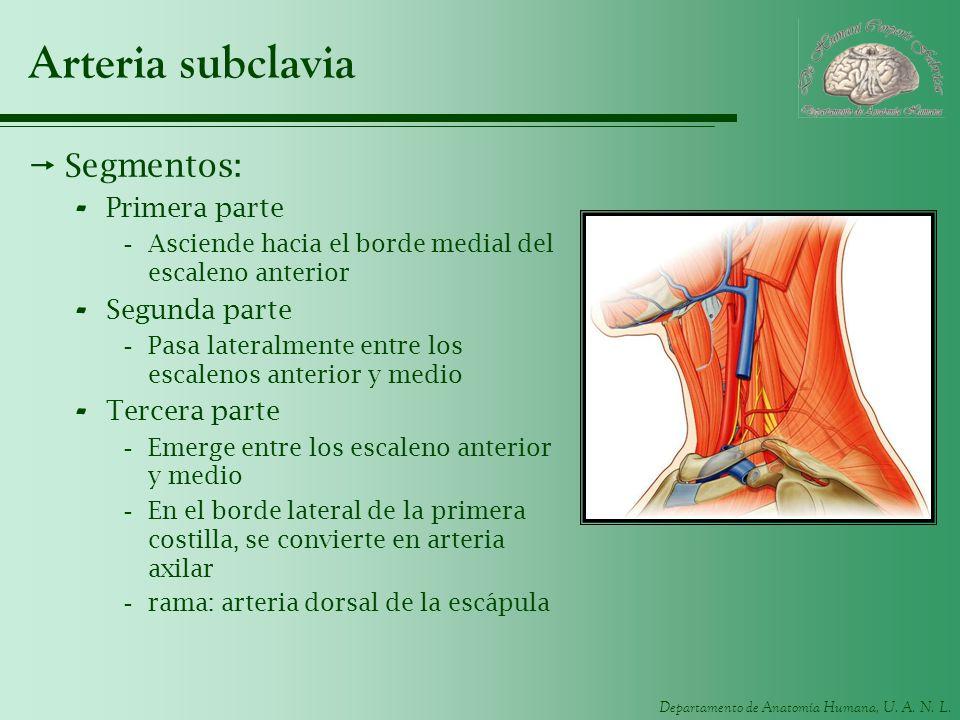 Arteria subclavia Segmentos: Primera parte Segunda parte Tercera parte