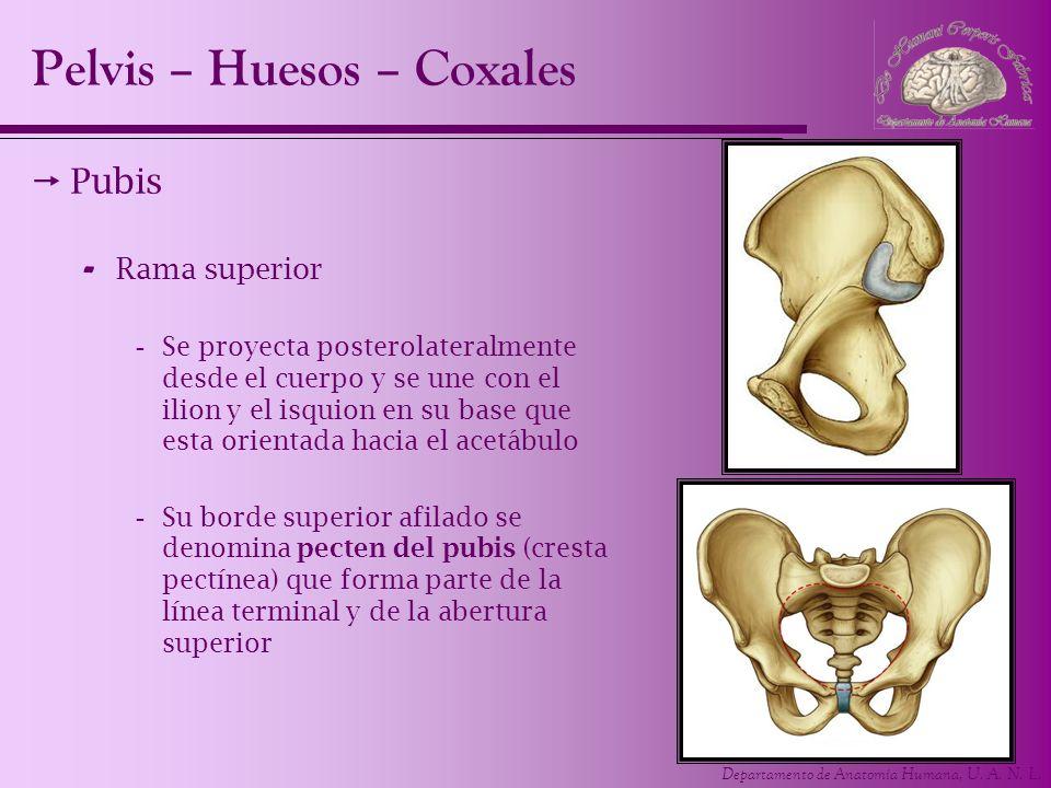 Pelvis – Huesos – Coxales