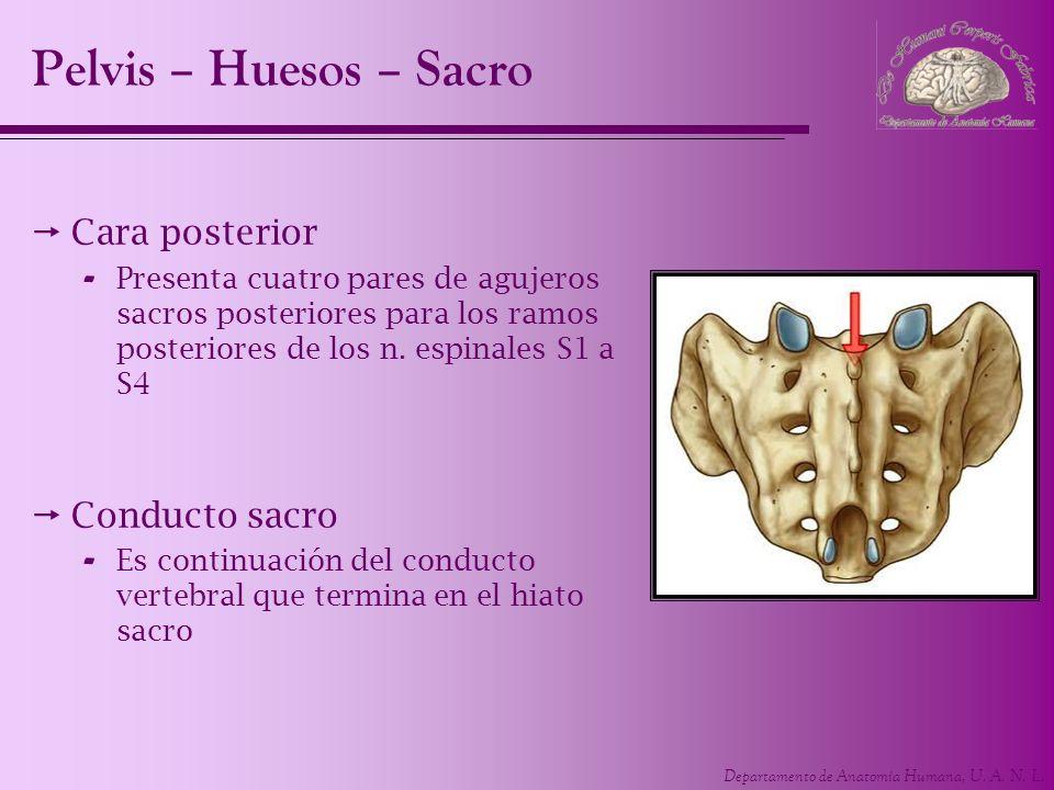 Pelvis – Huesos – Sacro Cara posterior Conducto sacro