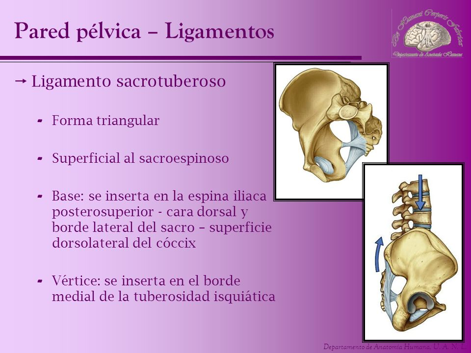 Pared pélvica – Ligamentos