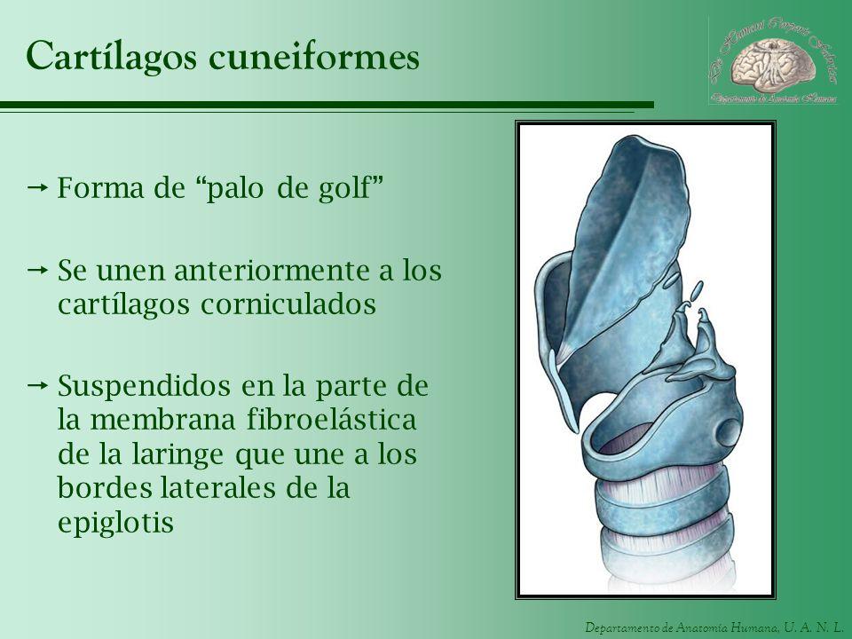 Cartílagos cuneiformes
