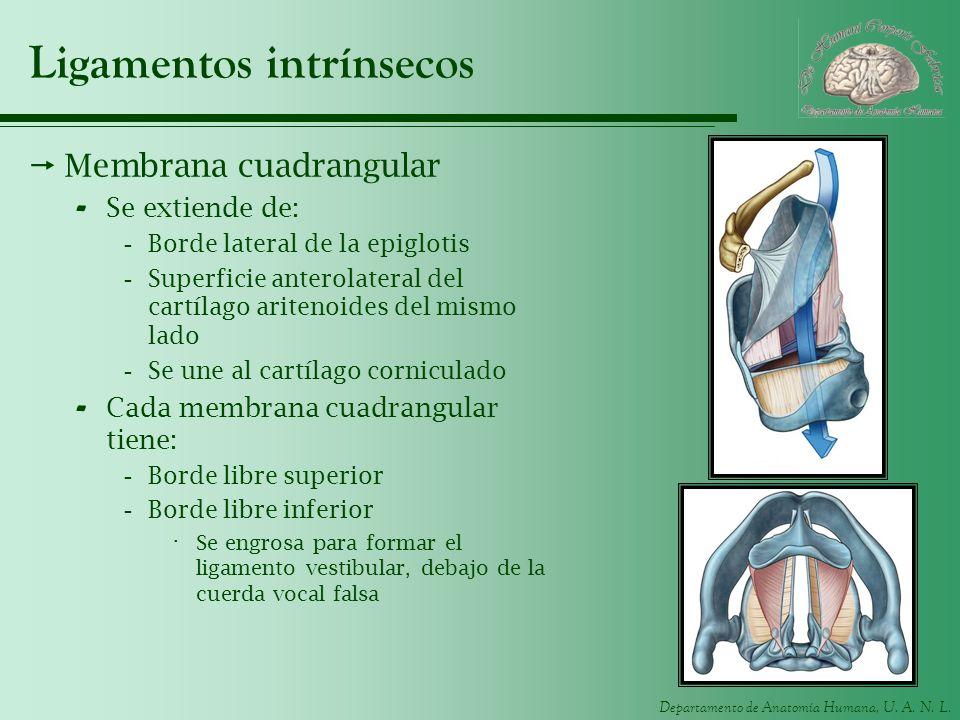 Ligamentos intrínsecos