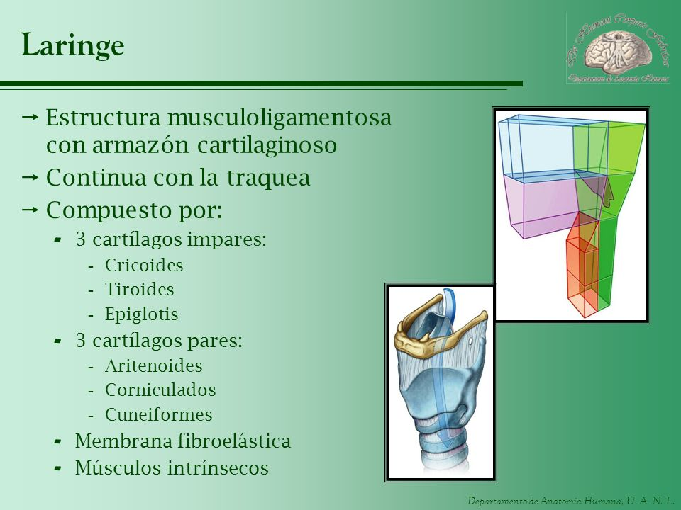 Laringe Estructura musculoligamentosa con armazón cartilaginoso
