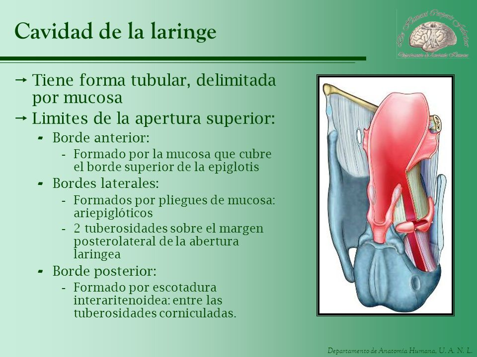 Cavidad de la laringe Tiene forma tubular, delimitada por mucosa