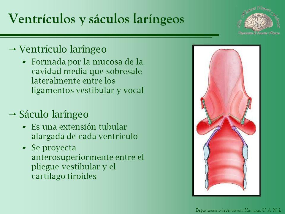Ventrículos y sáculos laríngeos