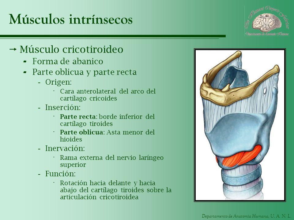Músculos intrínsecos Músculo cricotiroideo Forma de abanico