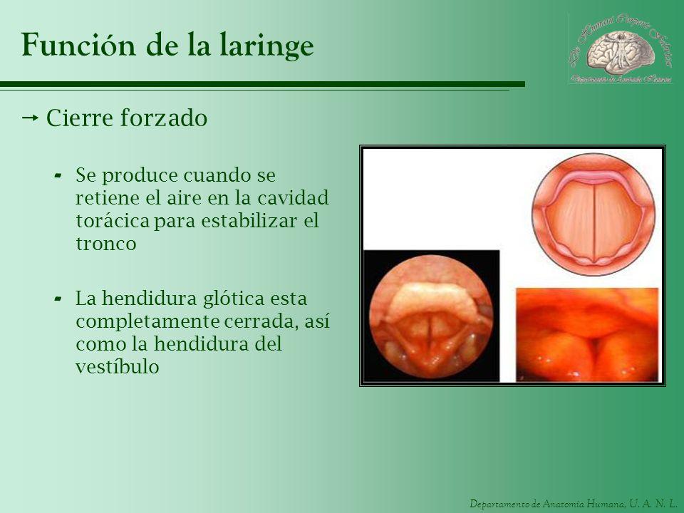 Función de la laringe Cierre forzado