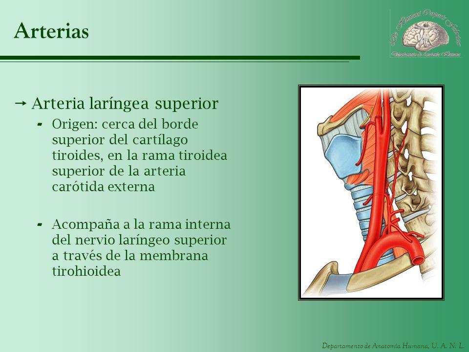 Arterias Arteria laríngea superior