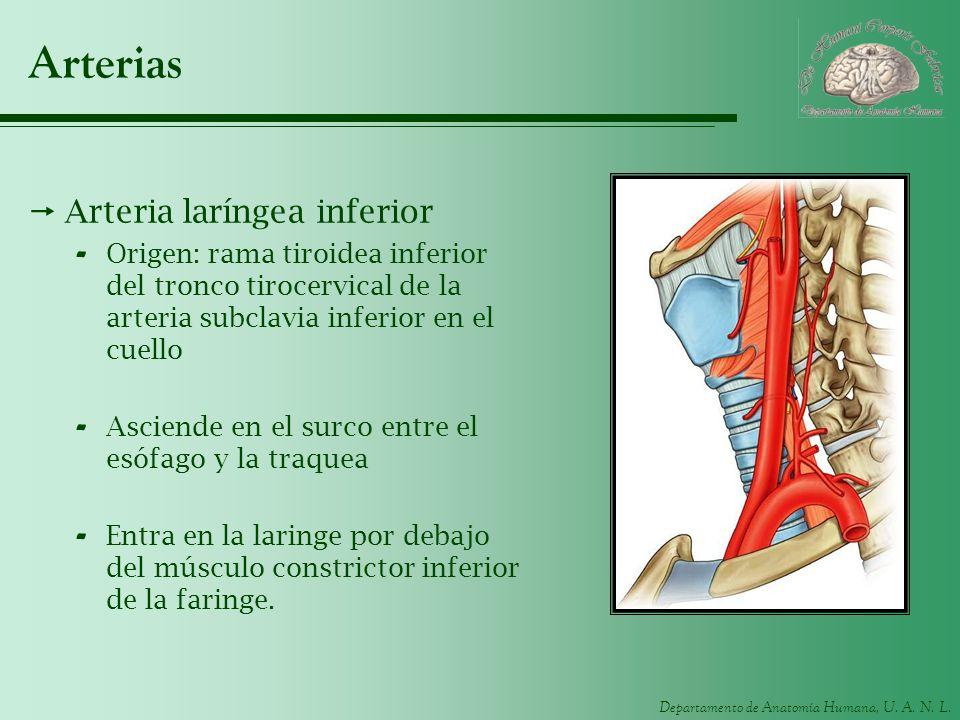 Arterias Arteria laríngea inferior