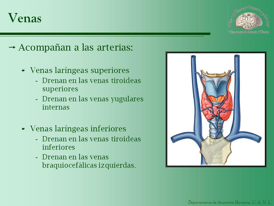 Venas Acompañan a las arterias: Venas laríngeas superiores