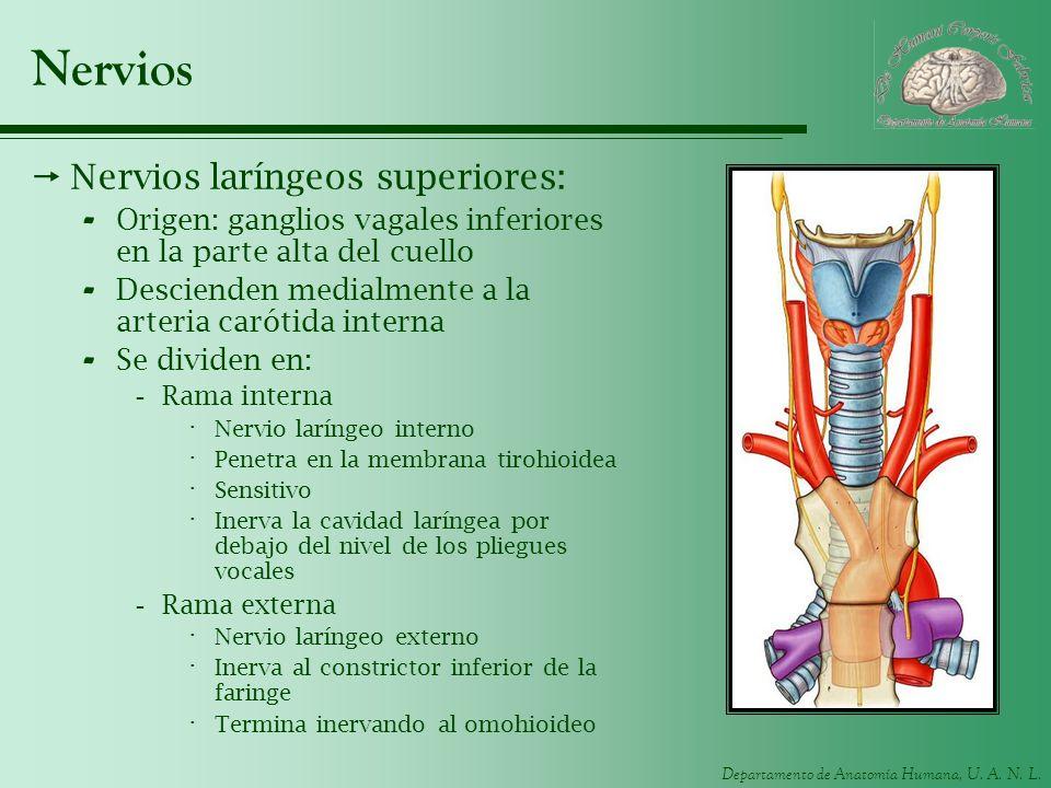 Nervios Nervios laríngeos superiores: