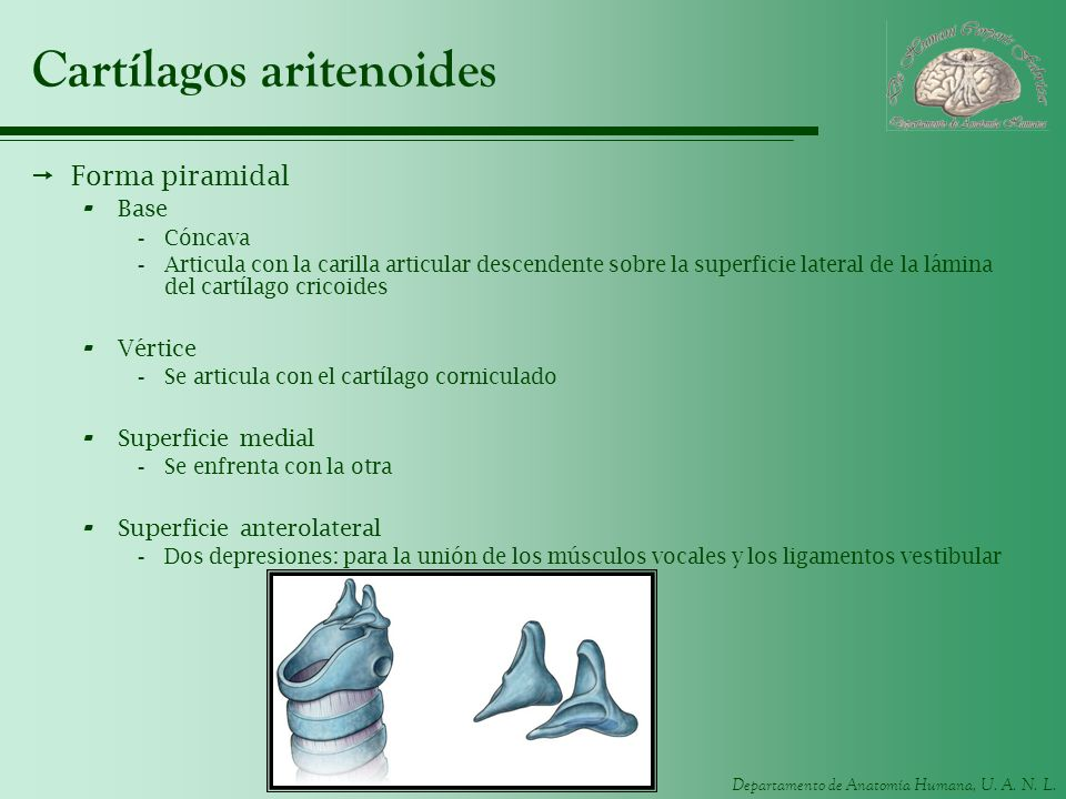 Cartílagos aritenoides
