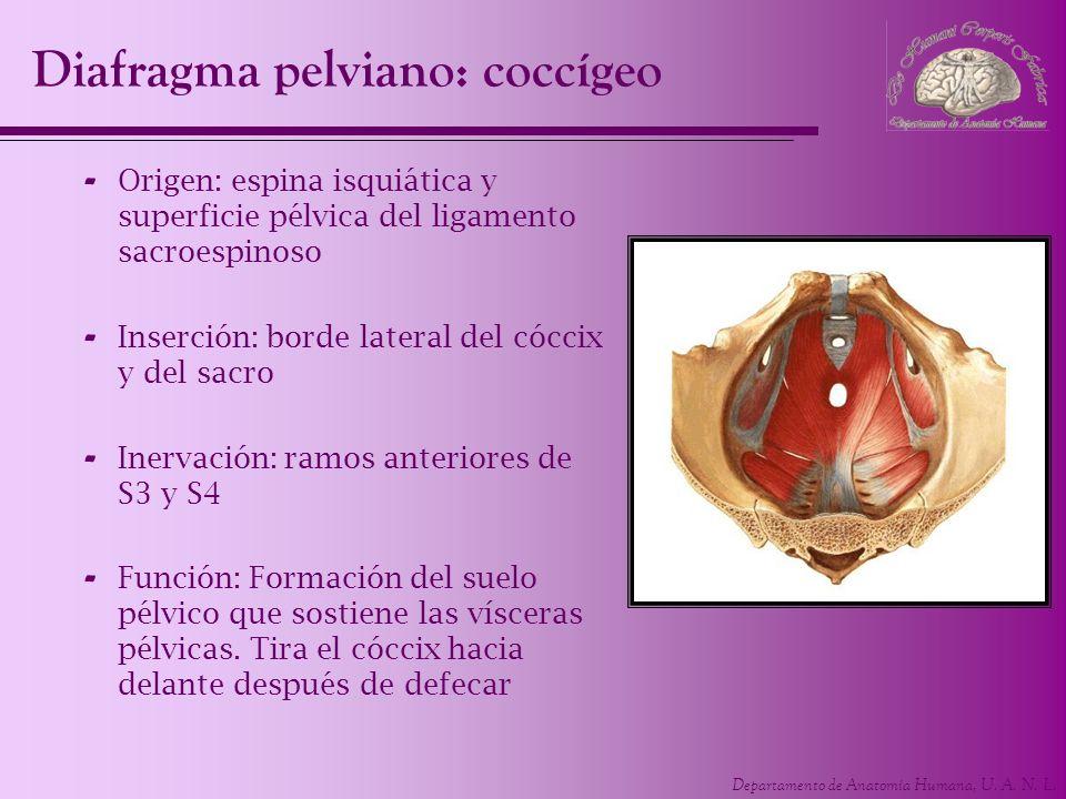 Diafragma pelviano: coccígeo