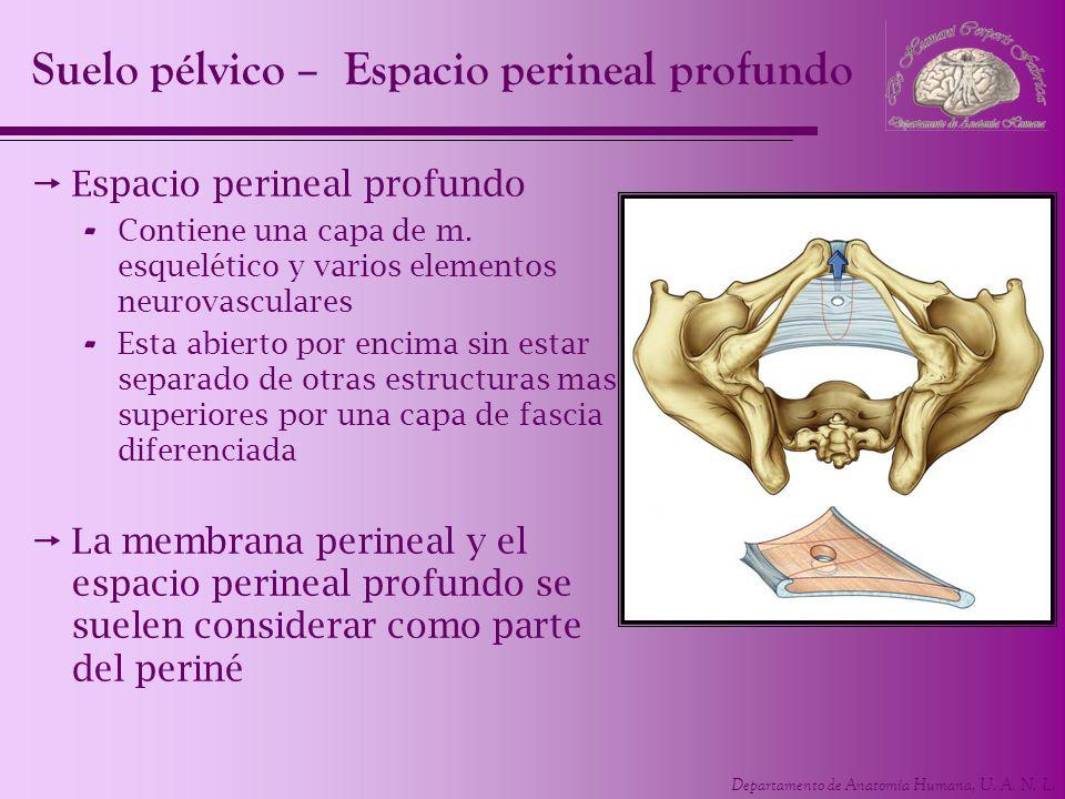 Suelo pélvico – Espacio perineal profundo