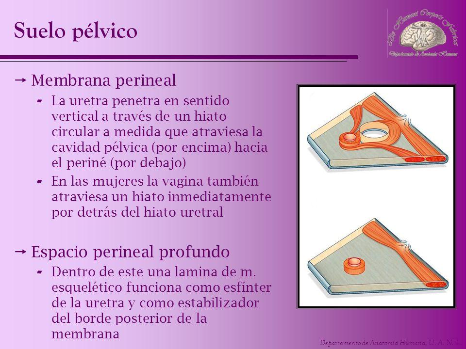 Suelo pélvico Membrana perineal Espacio perineal profundo