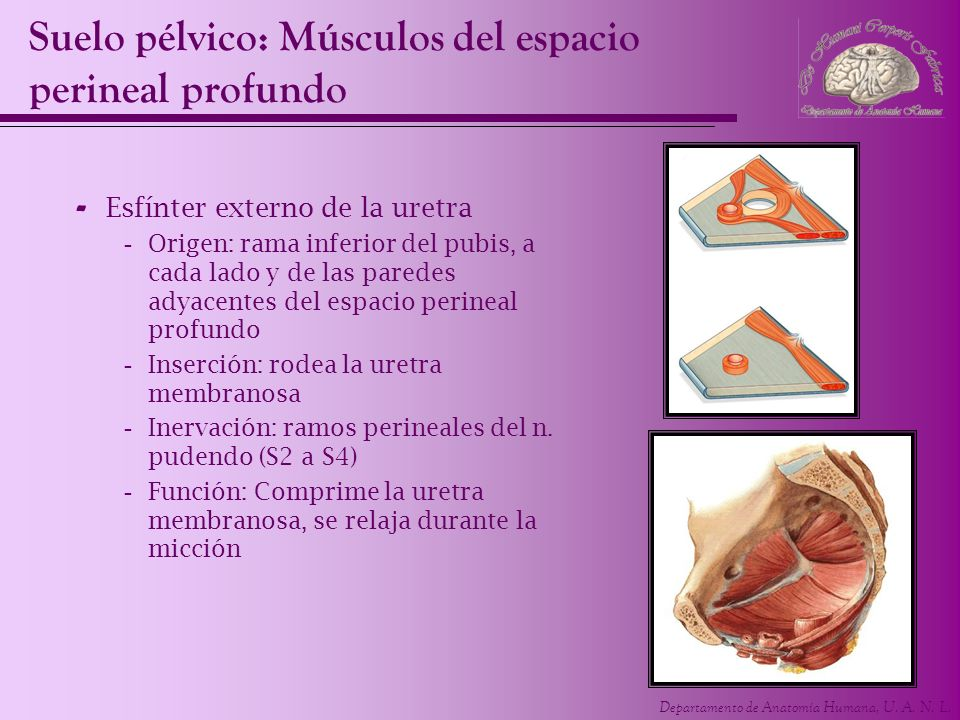 Suelo pélvico: Músculos del espacio perineal profundo