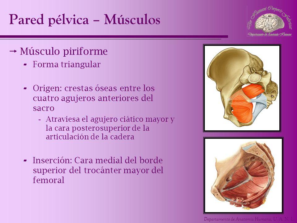 Pared pélvica – Músculos