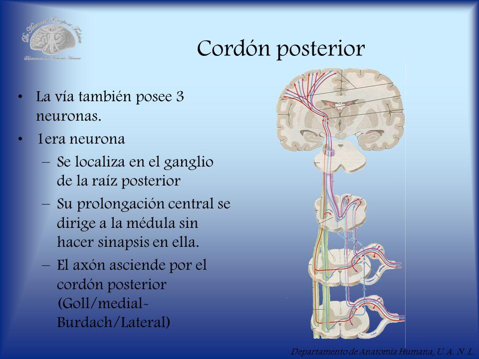 Cordón posterior La vía también posee 3 neuronas. 1era neurona