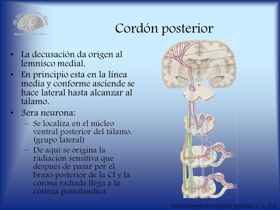 Cordón posterior La decusación da origen al lemnisco medial.