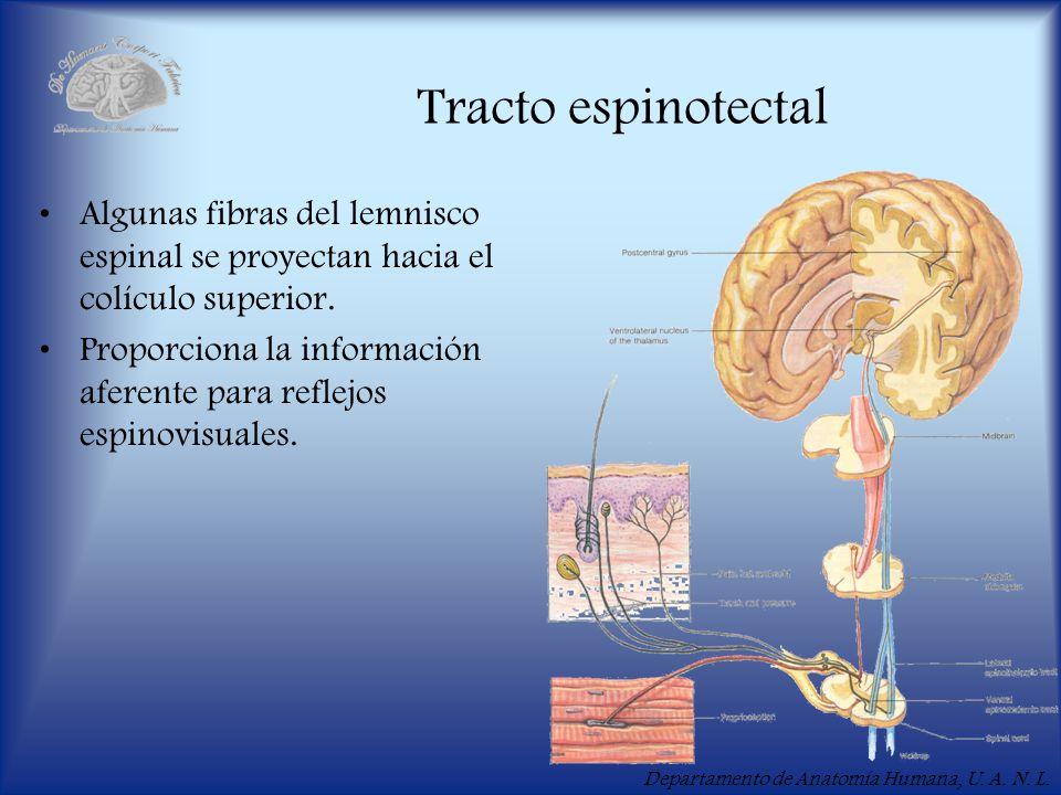 Tracto espinotectal Algunas fibras del lemnisco espinal se proyectan hacia el colículo superior.