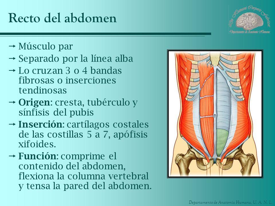 Recto del abdomen Músculo par Separado por la línea alba