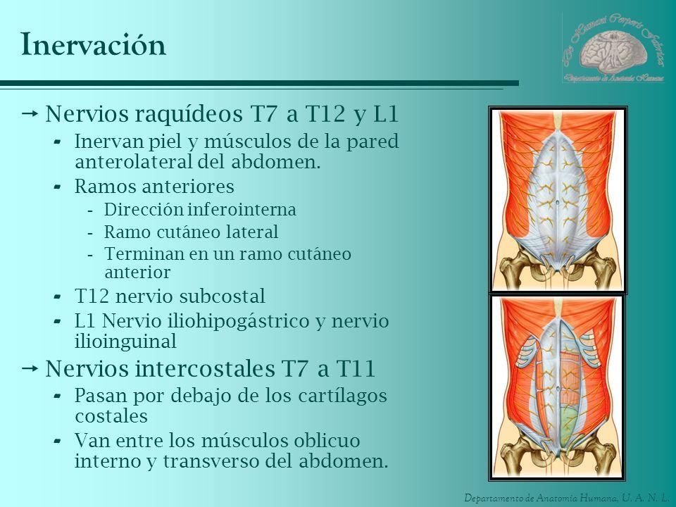 Inervación Nervios raquídeos T7 a T12 y L1