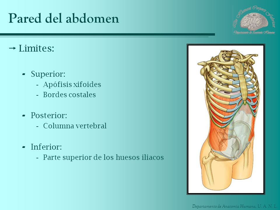 Pared del abdomen Limites: Superior: Posterior: Inferior: