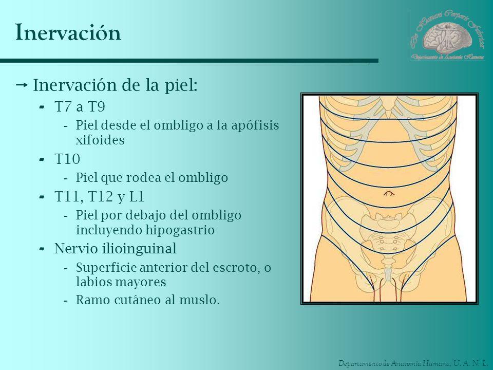 Inervación Inervación de la piel: T7 a T9 T10 T11, T12 y L1