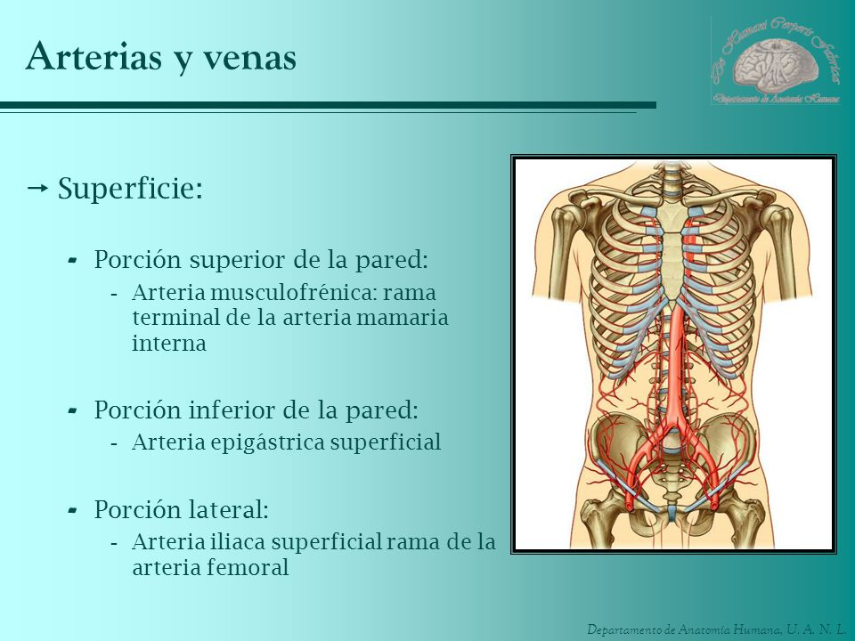 Arterias y venas Superficie: Porción superior de la pared: