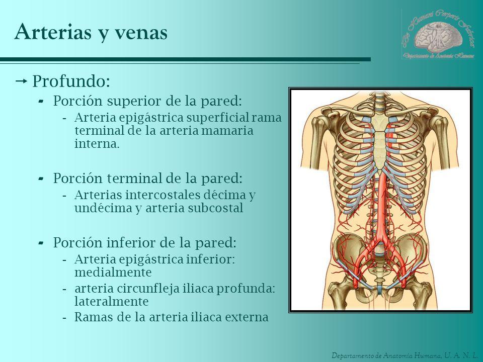 Arterias y venas Profundo: Porción superior de la pared: