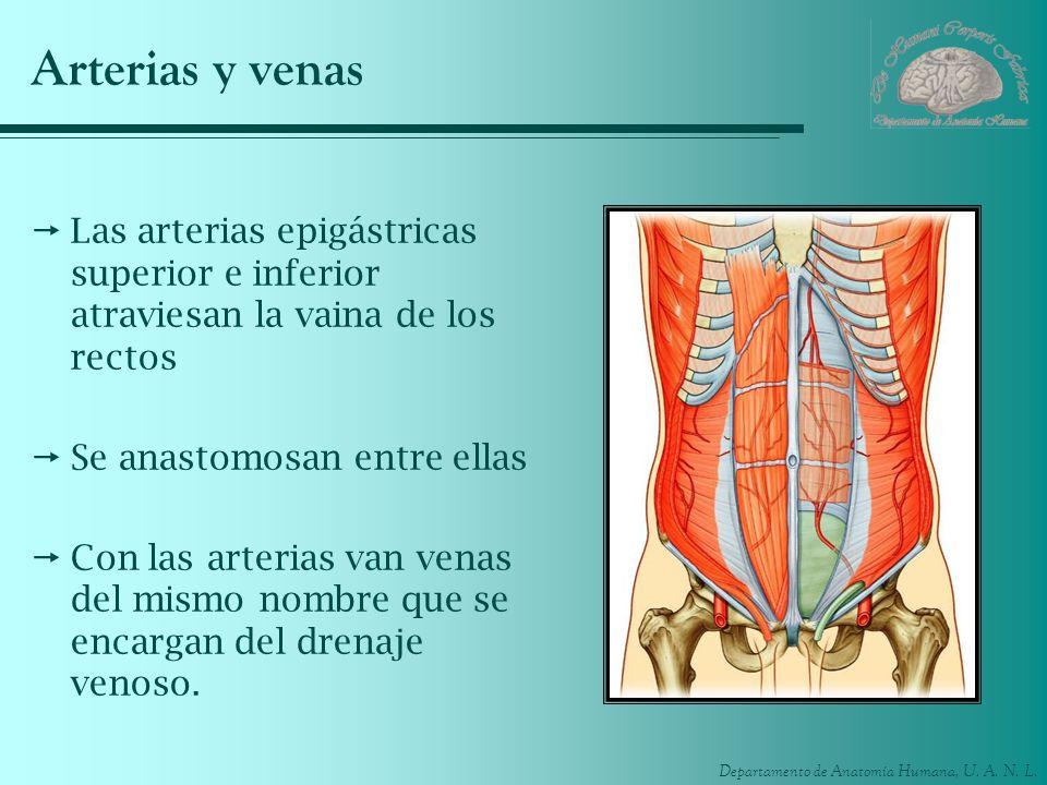 Arterias y venasLas arterias epigástricas superior e inferior atraviesan la vaina de los rectos. Se anastomosan entre ellas.
