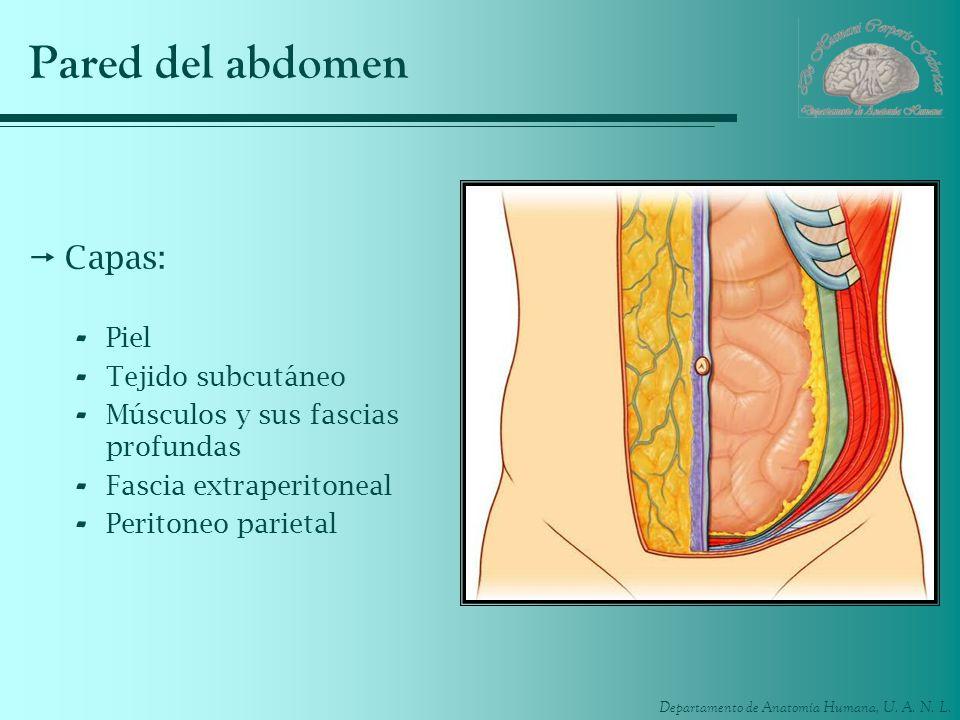 Pared del abdomen Capas: Piel Tejido subcutáneo