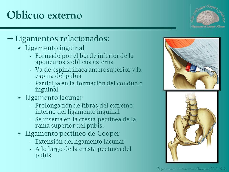 Oblicuo externo Ligamentos relacionados: Ligamento inguinal
