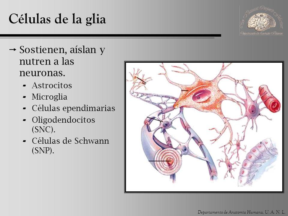 Células de la glia Sostienen, aíslan y nutren a las neuronas.
