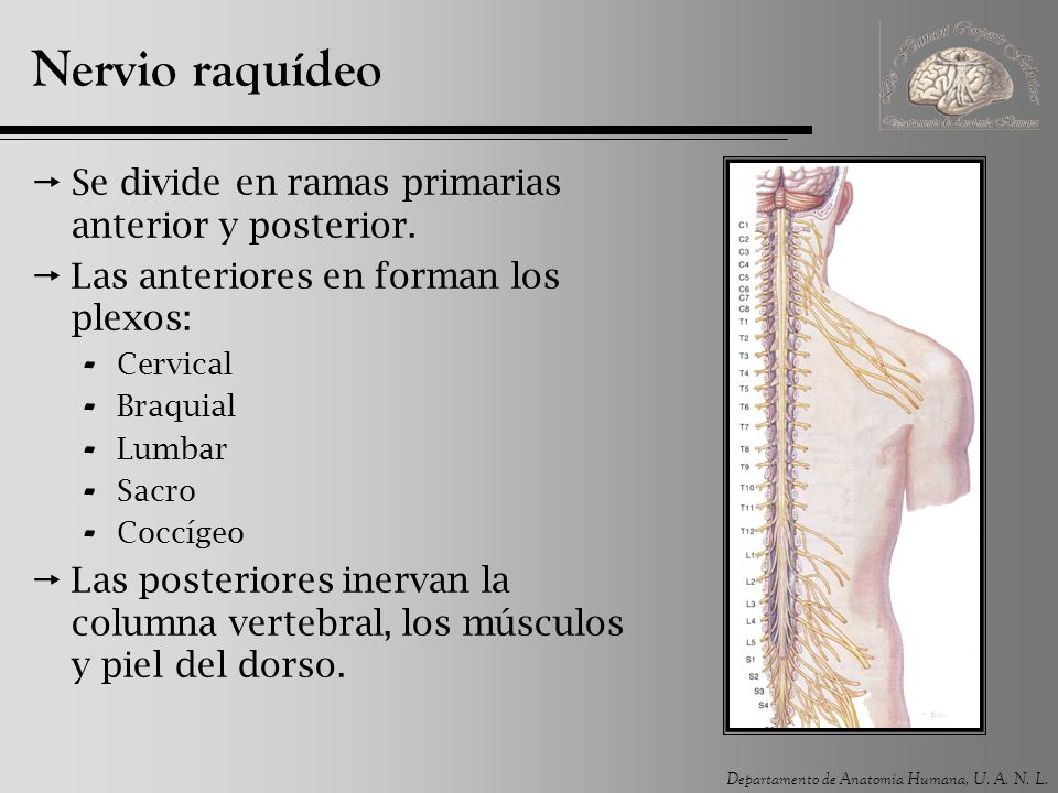 Nervio raquídeo Se divide en ramas primarias anterior y posterior.