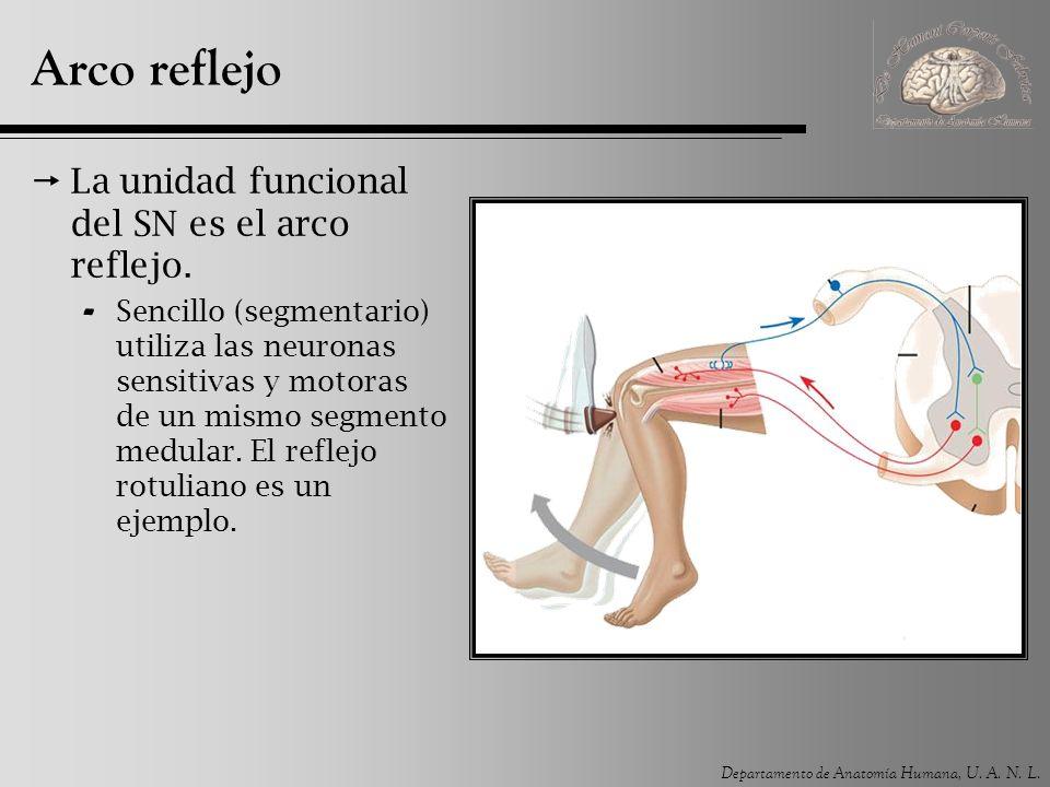 Arco reflejo La unidad funcional del SN es el arco reflejo.