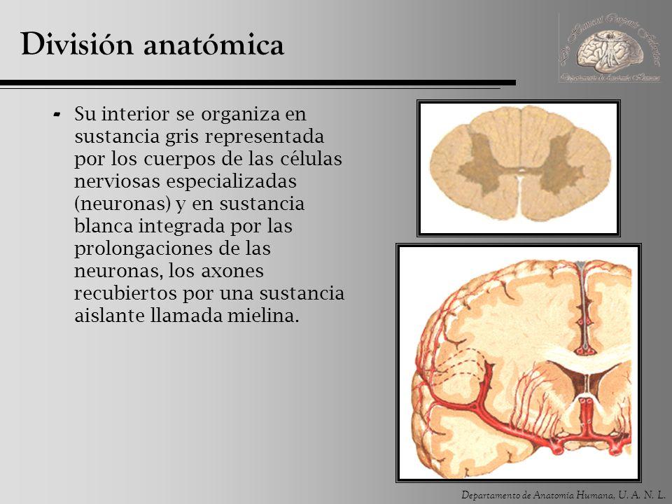División anatómica