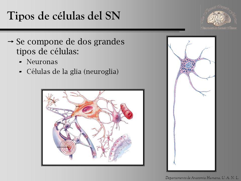 Tipos de células del SN Se compone de dos grandes tipos de células: