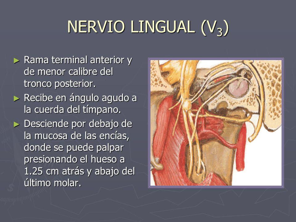 NERVIO LINGUAL (V3) Rama terminal anterior y de menor calibre del tronco posterior. Recibe en ángulo agudo a la cuerda del tímpano.