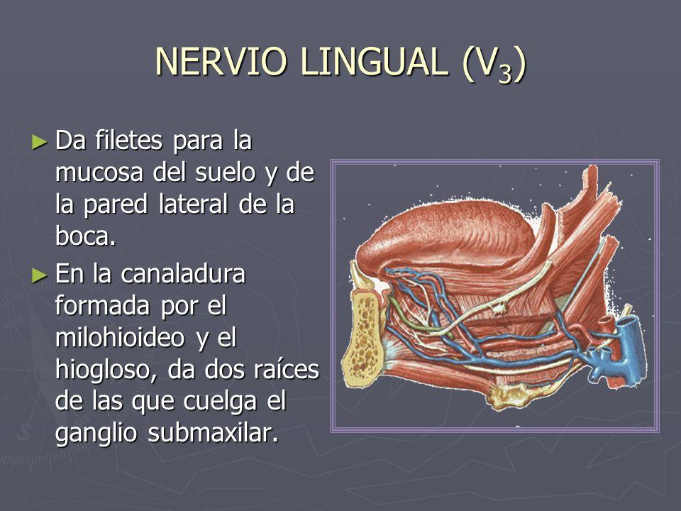 NERVIO LINGUAL (V3) Da filetes para la mucosa del suelo y de la pared lateral de la boca.