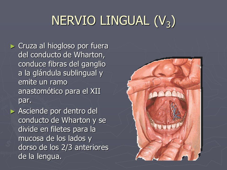 NERVIO LINGUAL (V3)